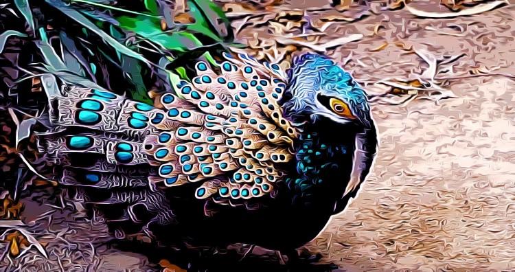 Bornean Peacock-pheasant Polyplectron schleiermacheri