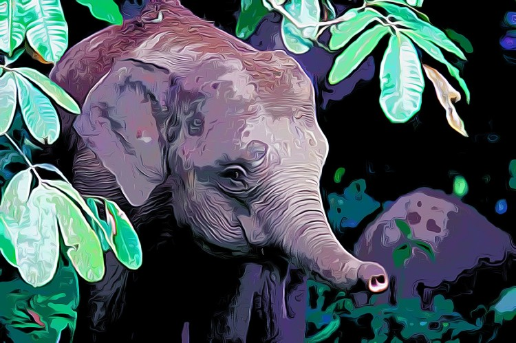 Borneo Pygmy Elephant Elephas maximus borneensis