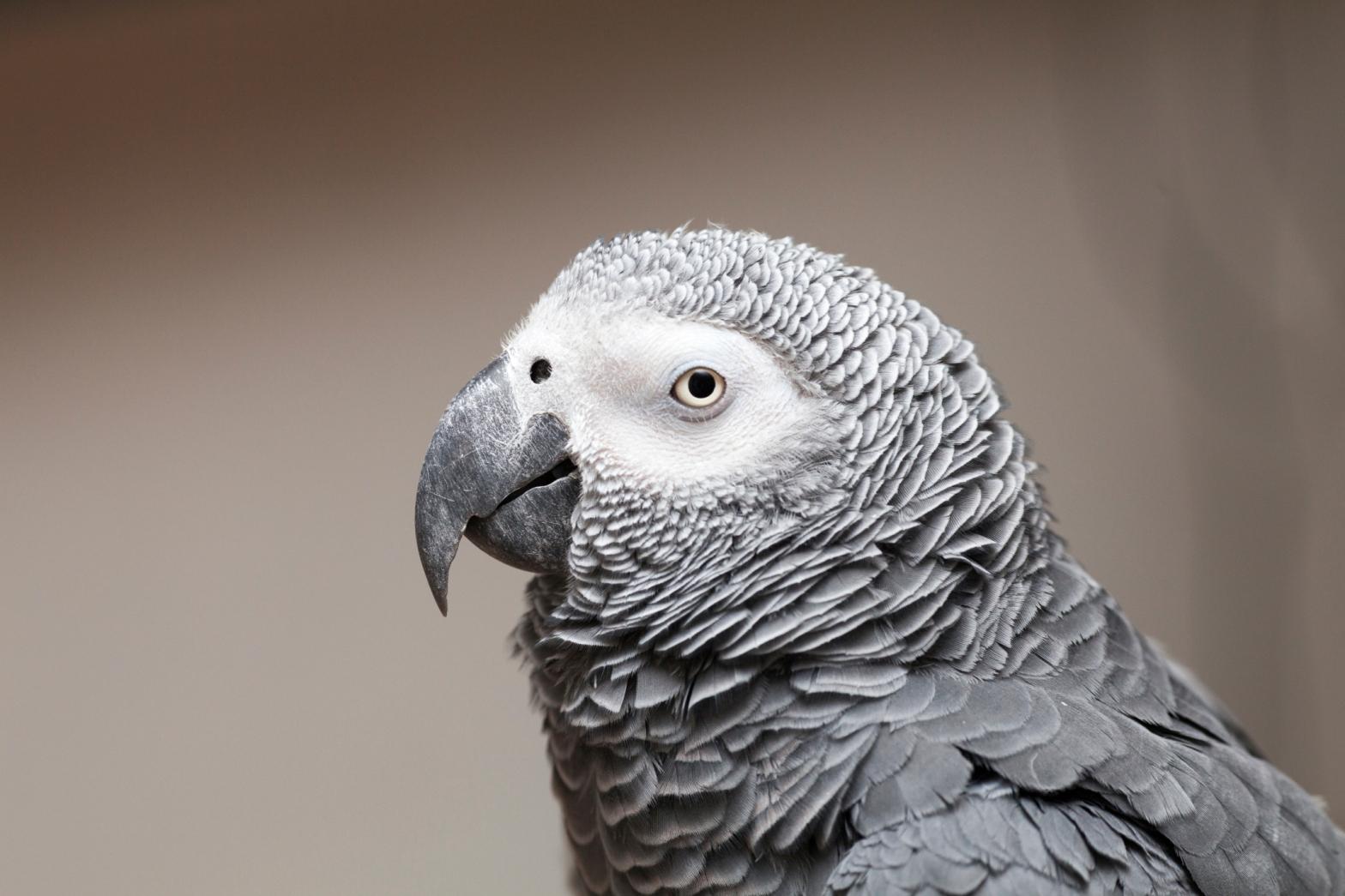 African Grey Parrot Psittacus erithacus