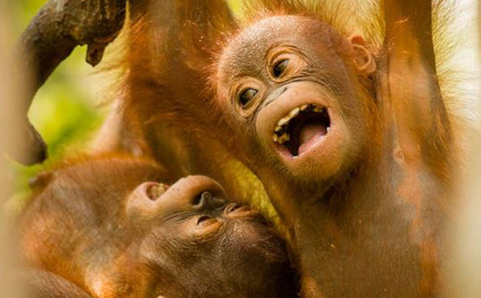 The lengthy childhood of endangered orangutans is written in their teeth