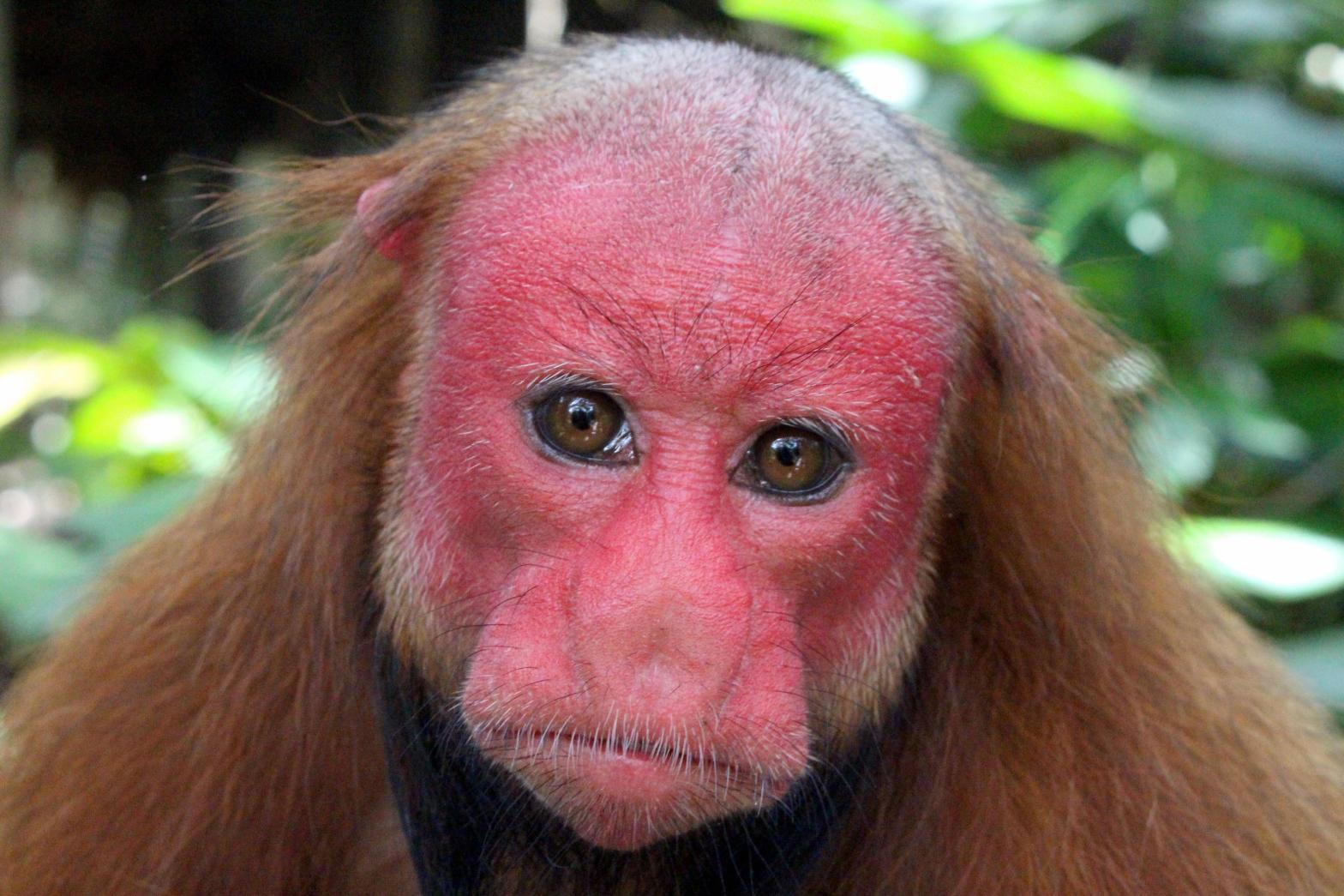 Bald-headed Uacari Cacajao calvus