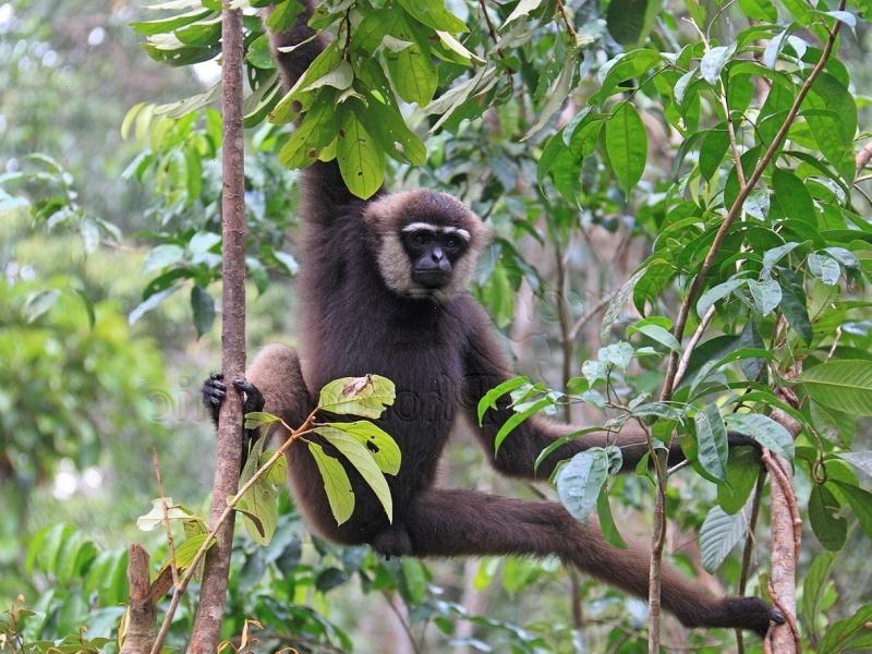 Bornean White-bearded Gibbon Hylobates albibarbis
