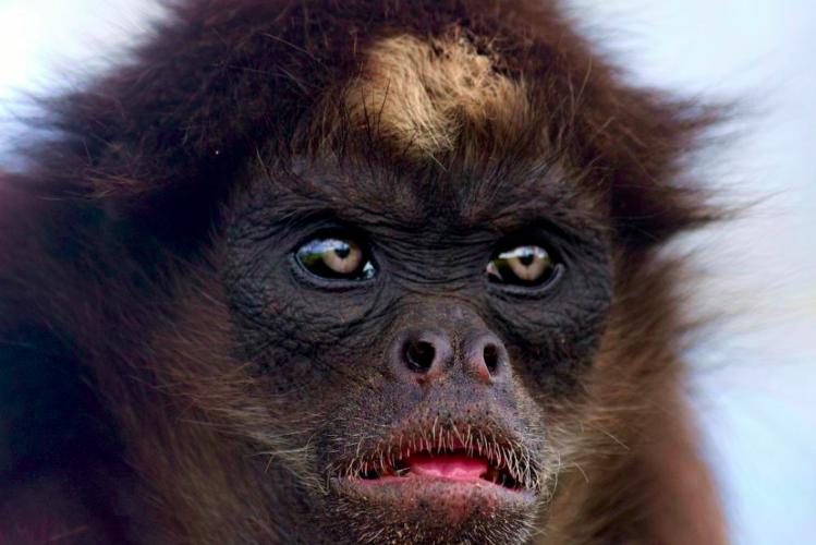 Brown Spider Monkey Ateles hybridus