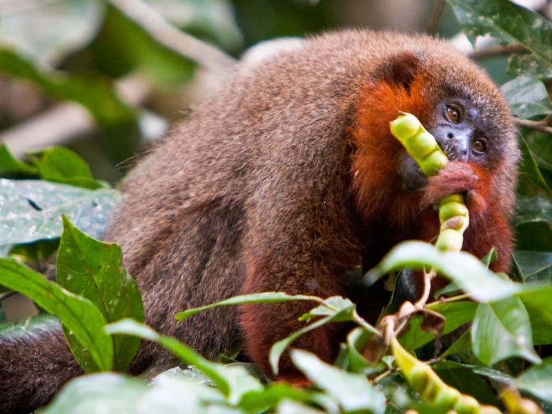 Caquetá Tití Monkey Plecturocebus caquetensis