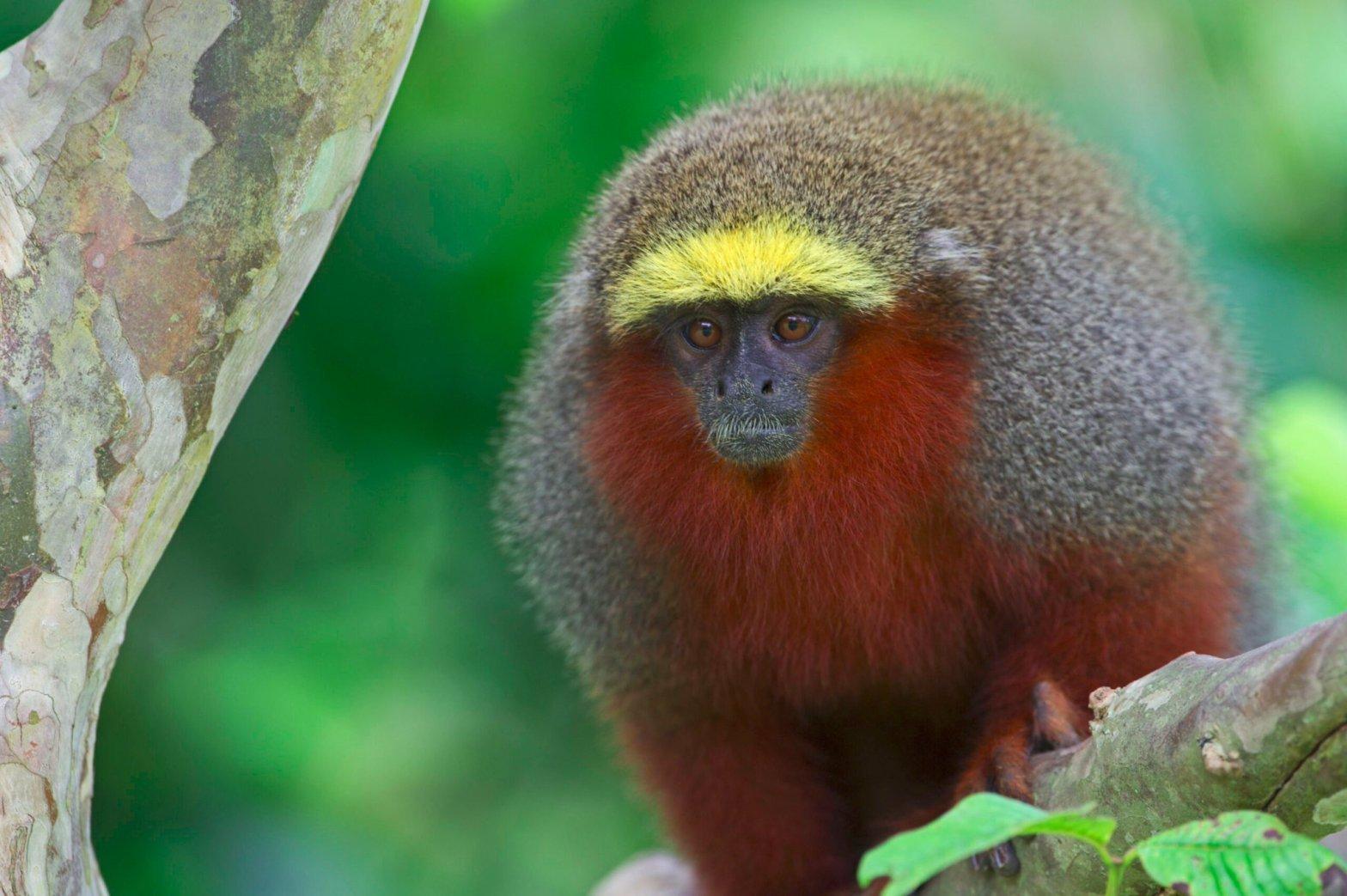 Dusky Titi Monkey, found in the Amazon rainforest.