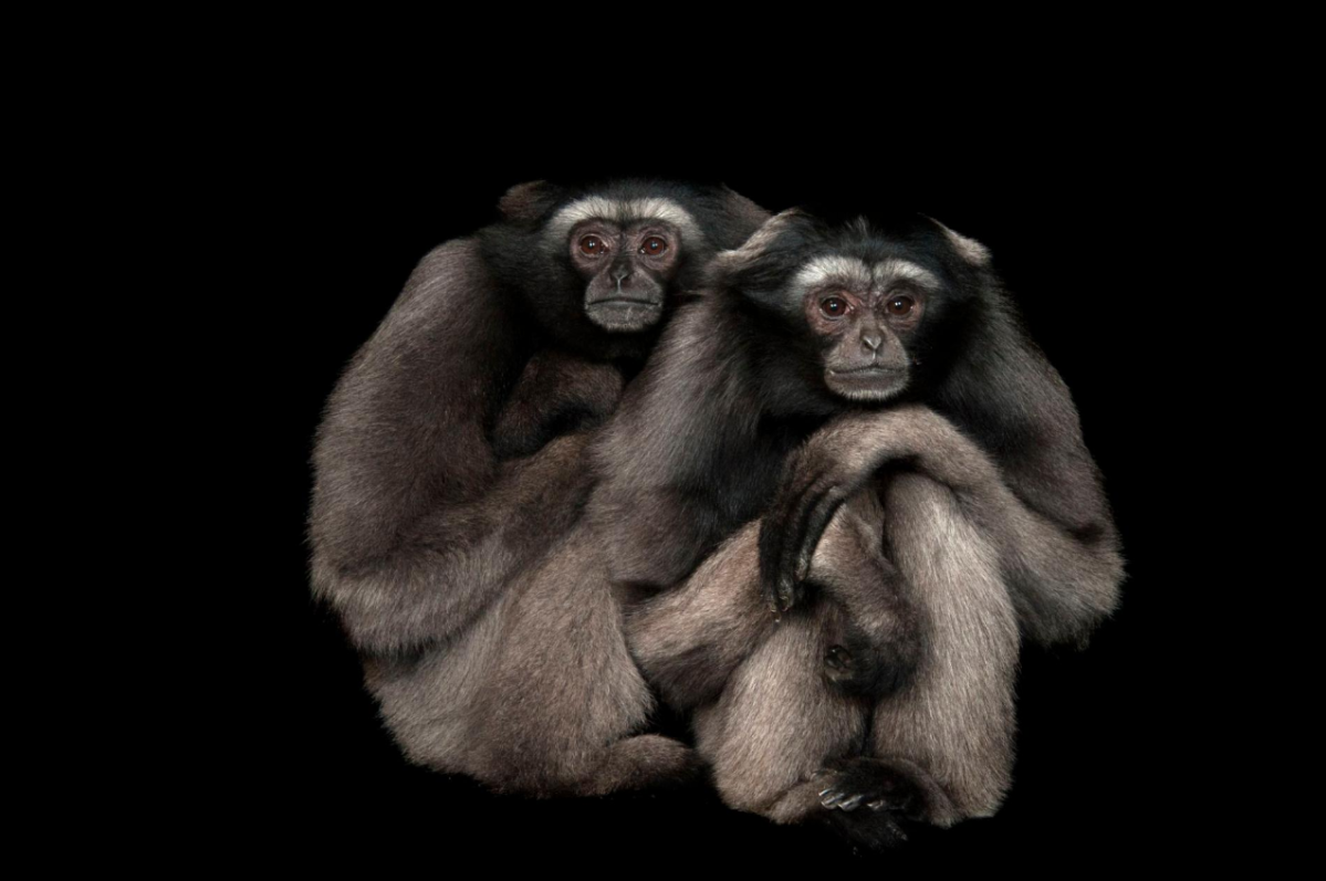 Bornean Gibbon Hylobates muelleri