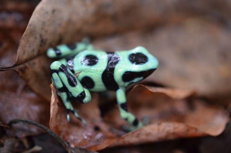 Harlequin Poison Frog Oophaga histrionica