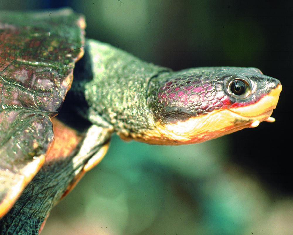Hoge's Side-necked Turtle Mesoclemmys hogei