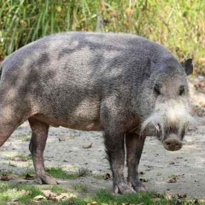 Bornean Bearded Pig Sus barbatus