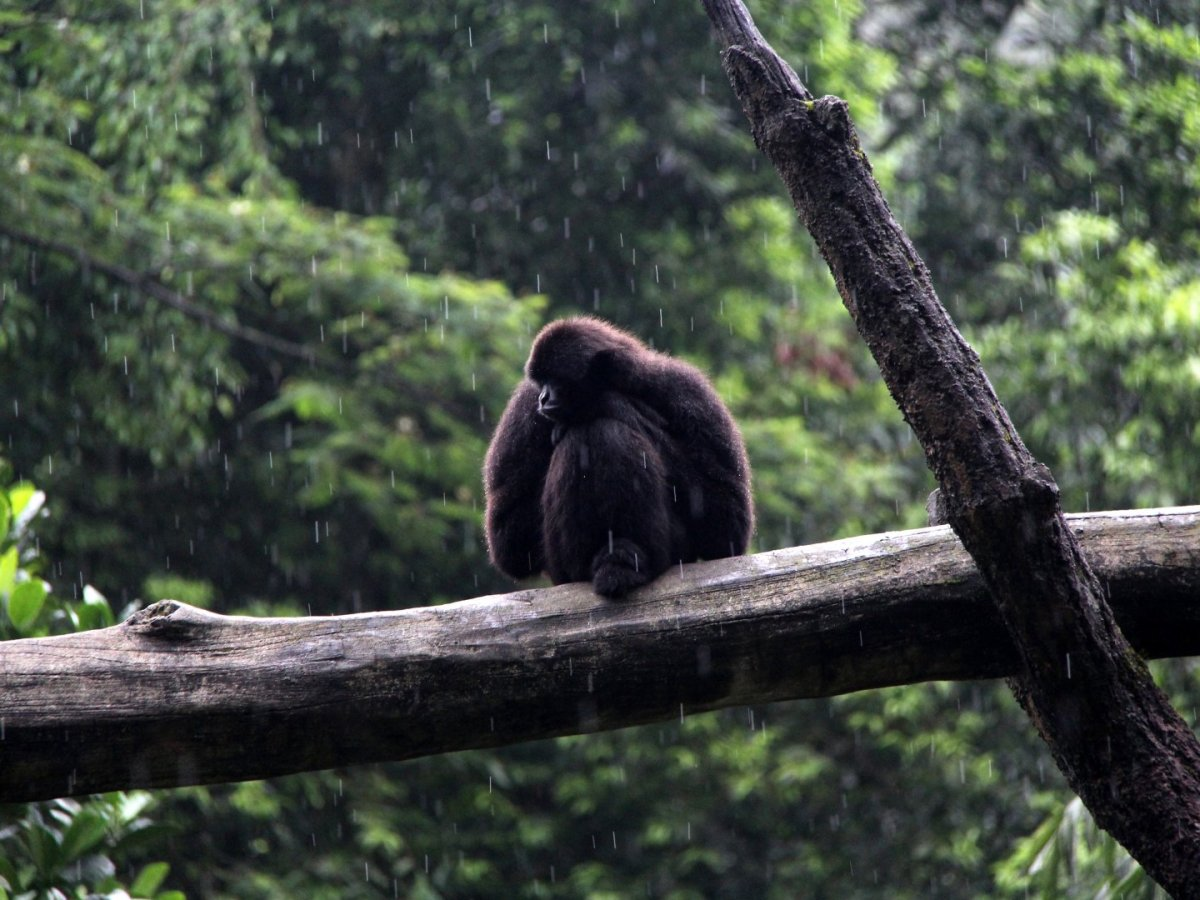 Kloss's Gibbon Hylobates klossii