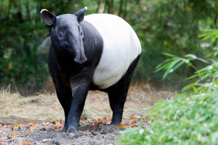 Malayan Tapir Tapirus indicus
