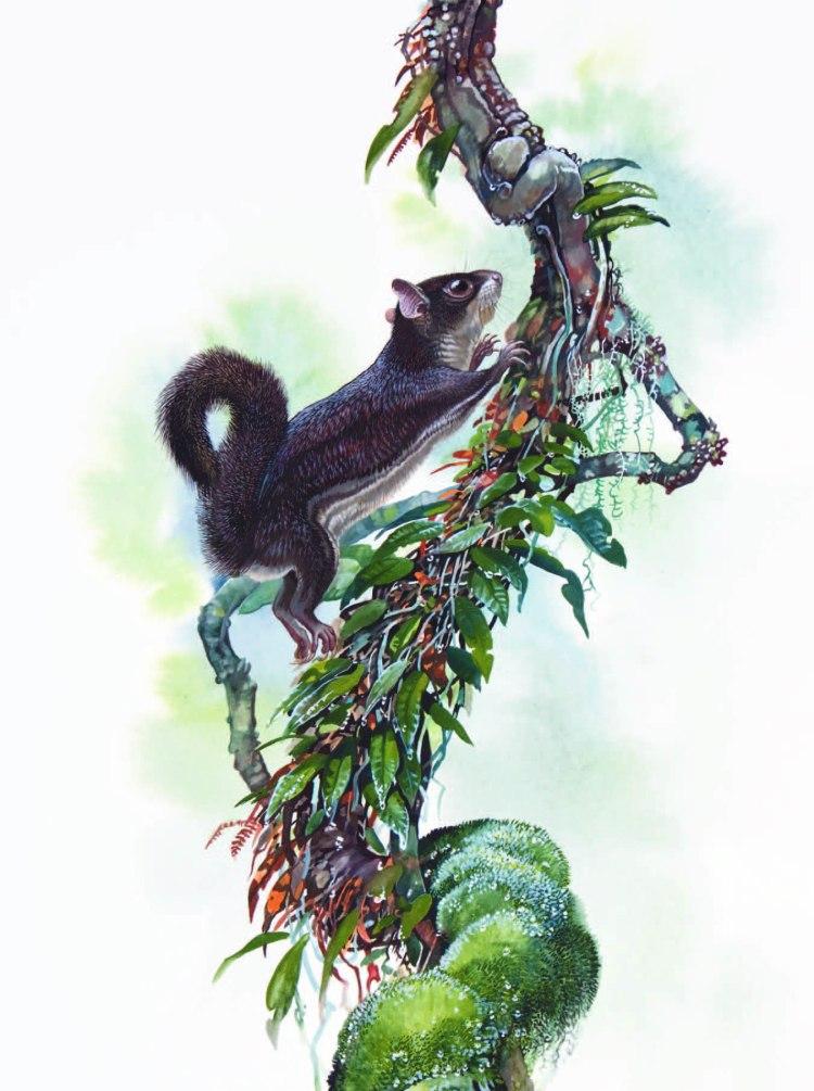Mentawi Flying Squirrel Iomys sipora