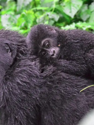 We don't know how many mountain gorillas live in the wild. Here's why