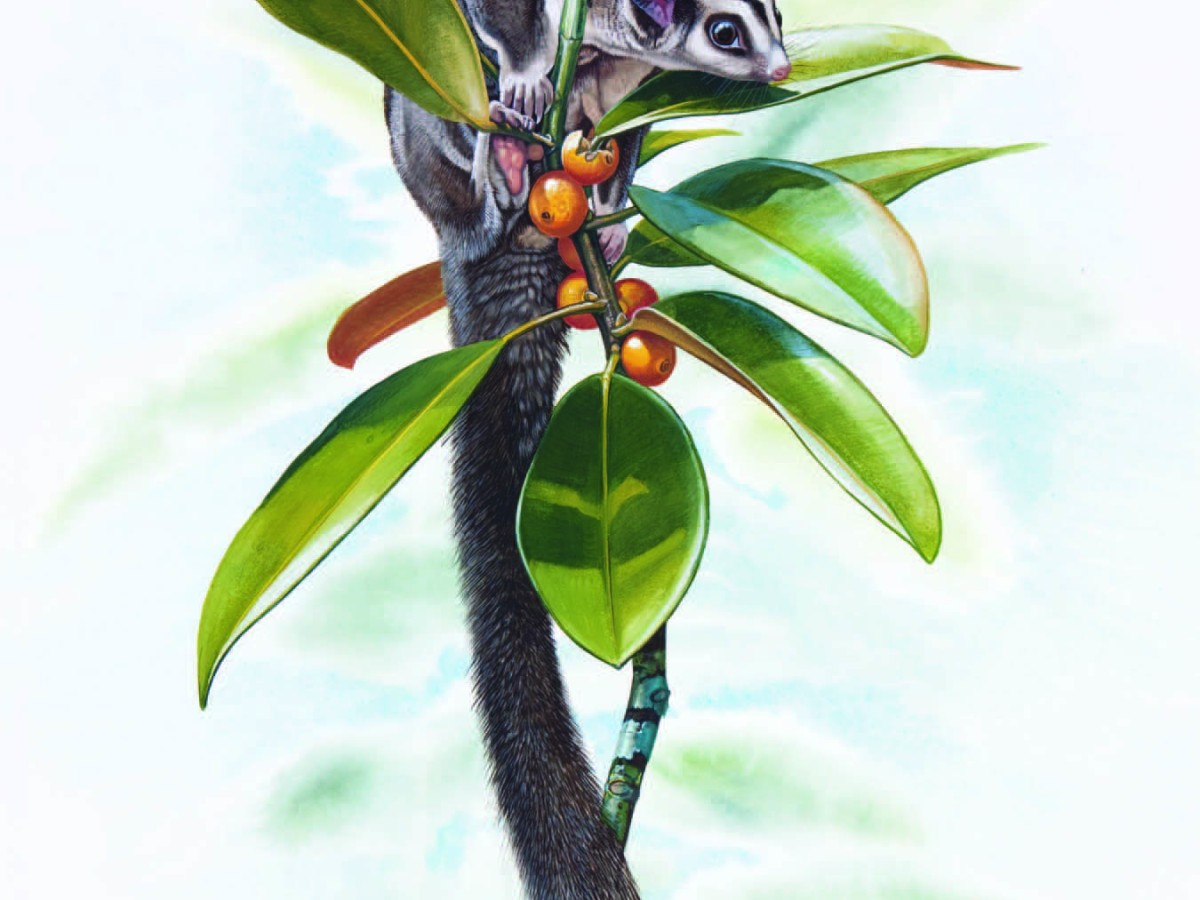 Northern Glider Petaurus abidi