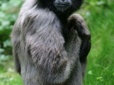 Northern Gray Gibbon Hylobates funereus