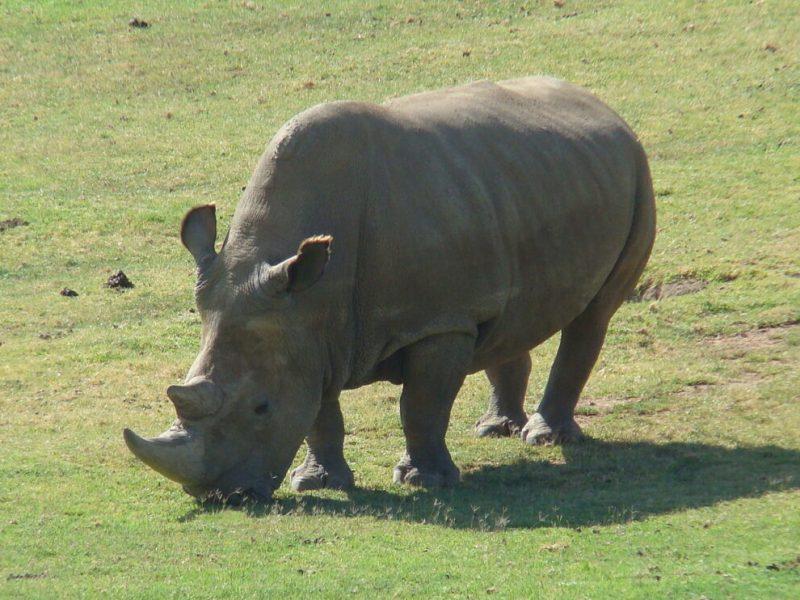 The Rarest Rhino: The Two Last Northern White Rhinos of Kenya