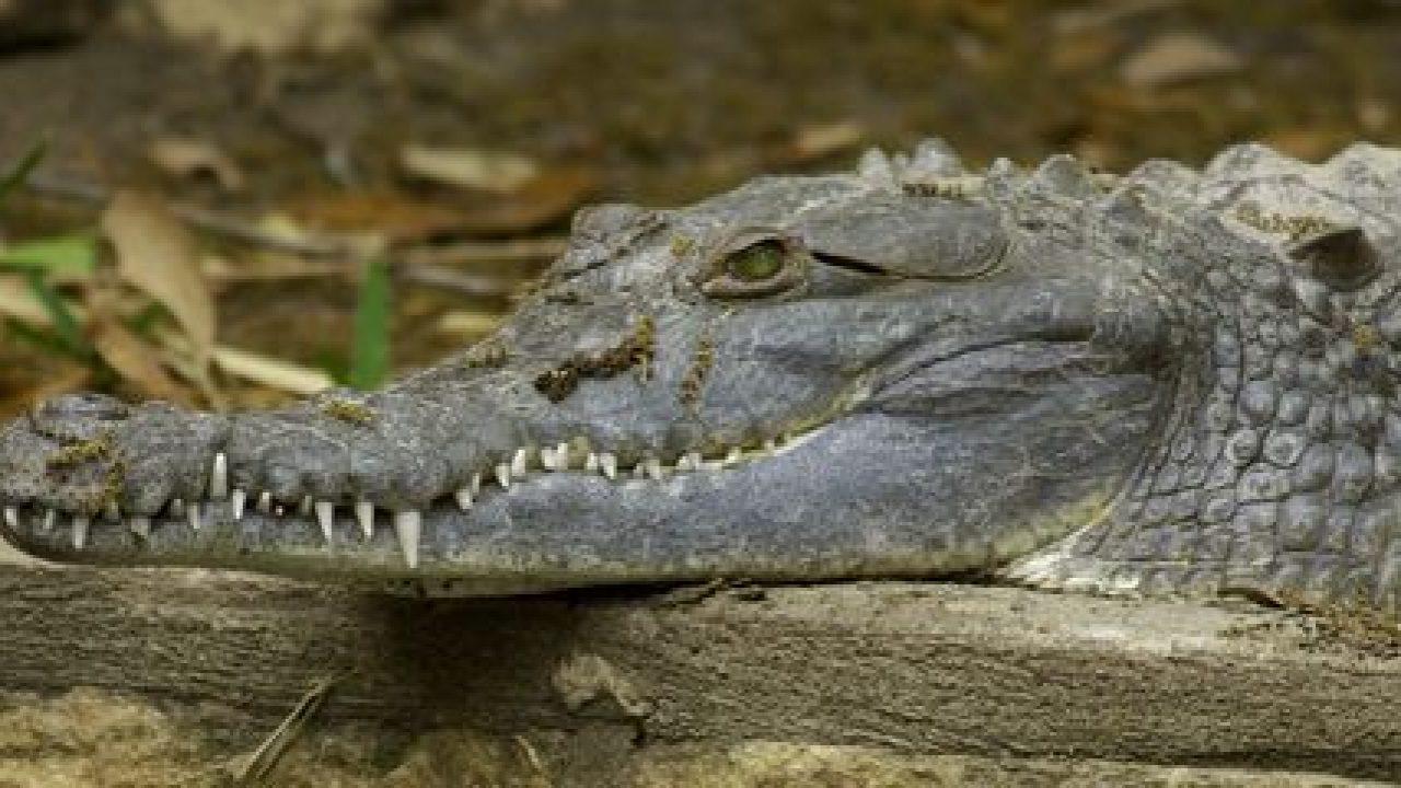 Orinoco Crocodile Crocodylus intermedius