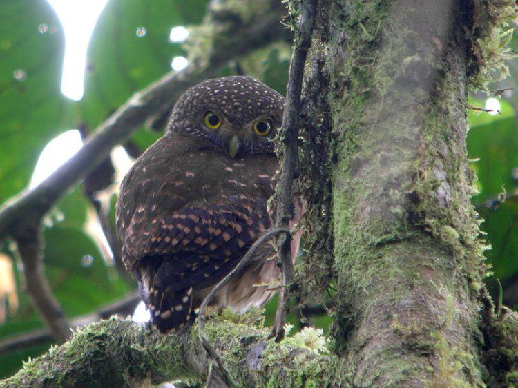 Pernambuco Pygmy-owl Glaucidium mooreorum