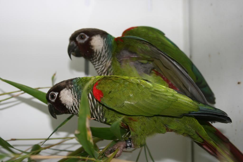 Sinu Parakeet Pyrrhura subandina