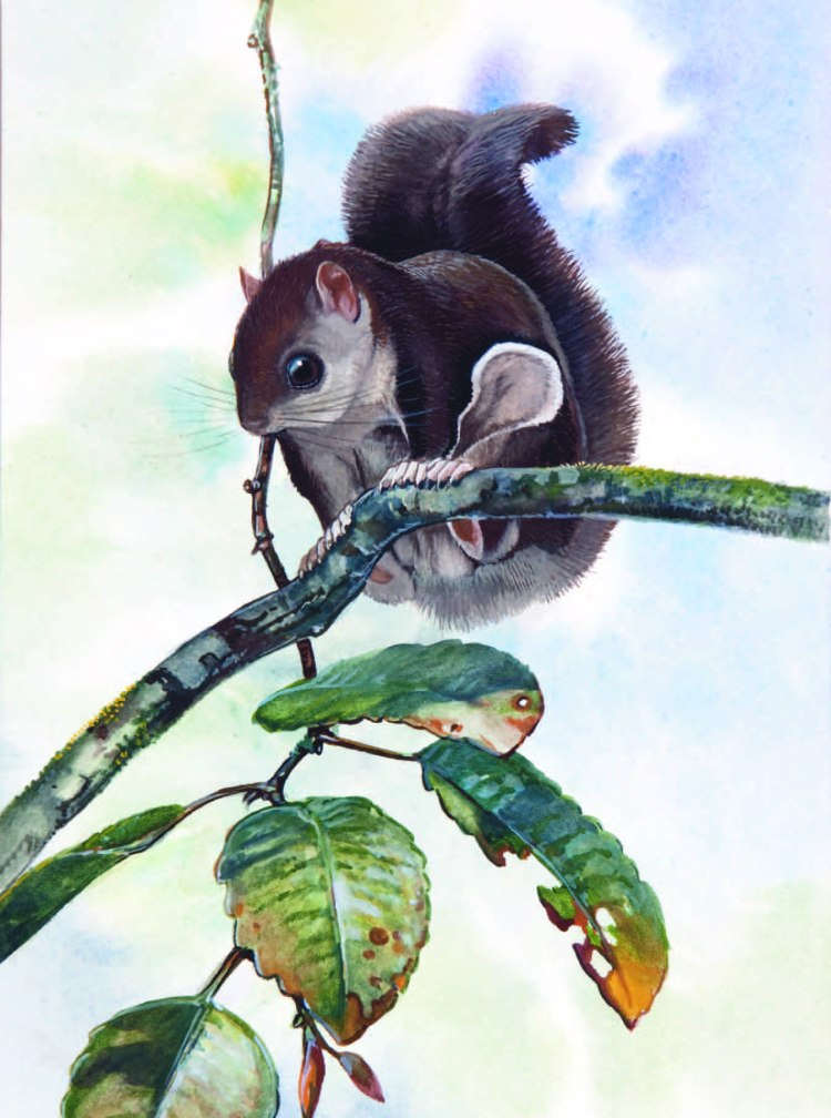 Sipora Flying Squirrel Hylopetes sipora