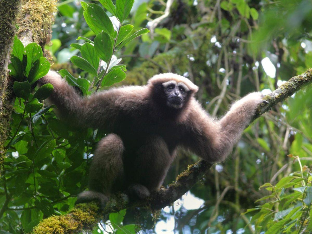 Skywalker Hoolock Gibbon Hoolock tianxing
