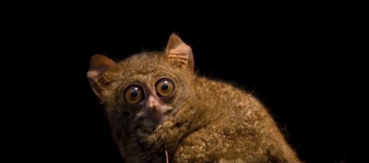 Spectral Tarsier Tarsius tarsier