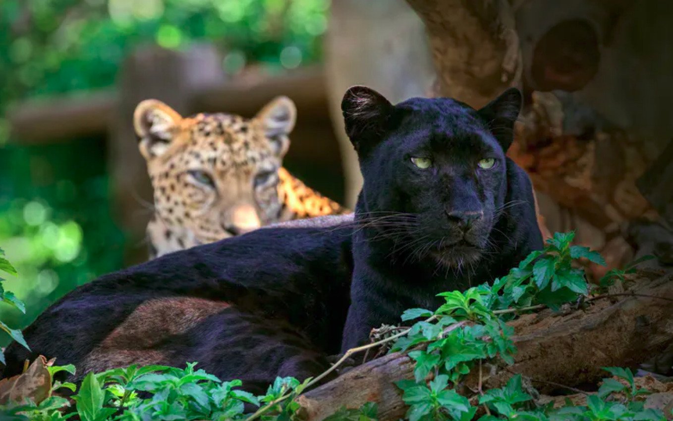 The why, what and where of the world's black leopards