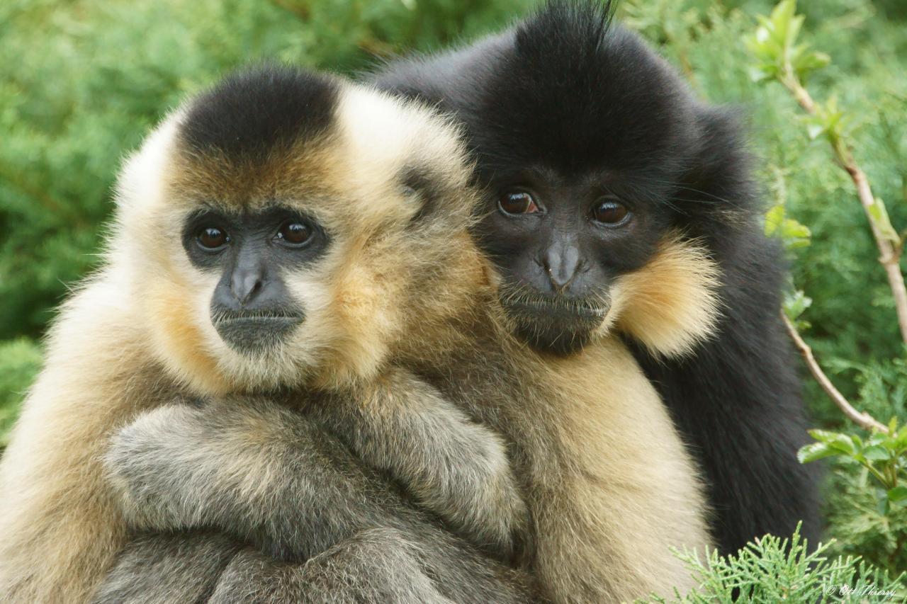 Tonkin Black Crested Gibbon Nomascus concolor ssp. concolor