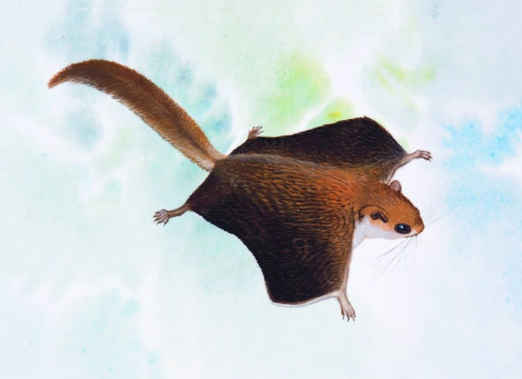 Vordermann's Flying Squirrel Petinomys vordermanni