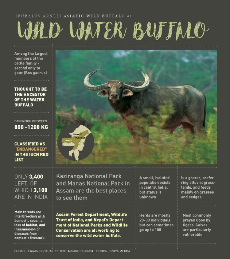 Wild Water Buffalo RoundGlass Sustain