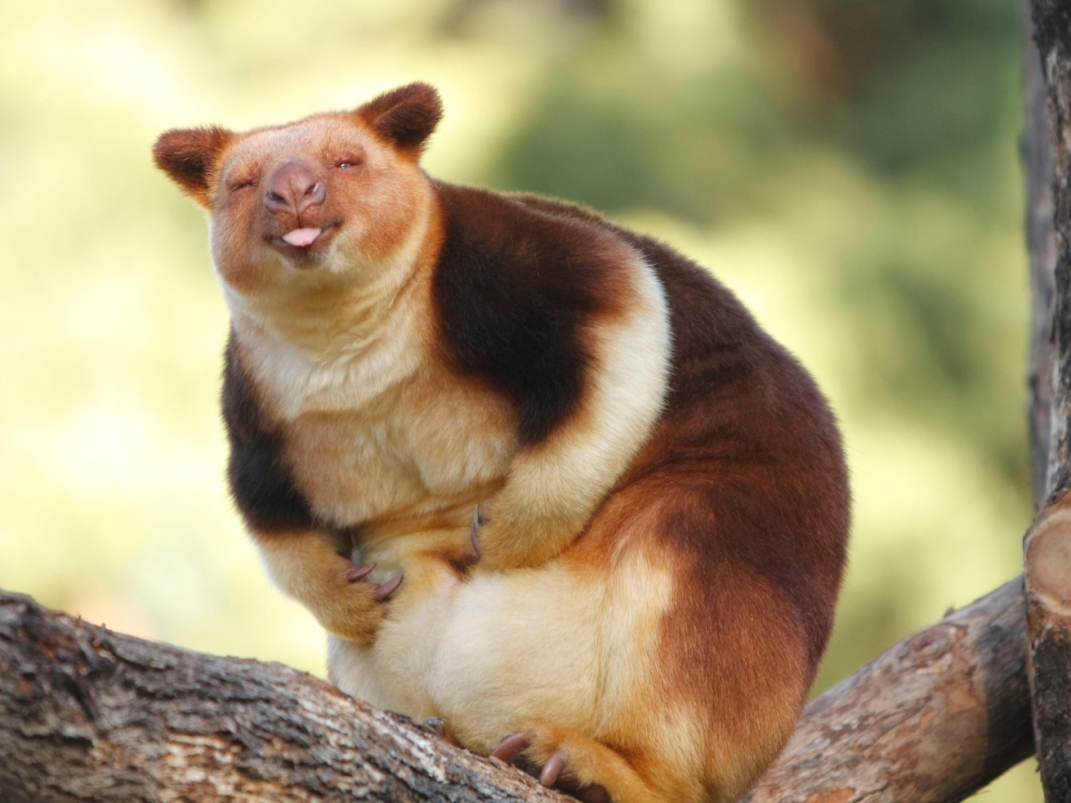 Goodfellow's Tree Kangaroo Dendrolagus goodfellowi