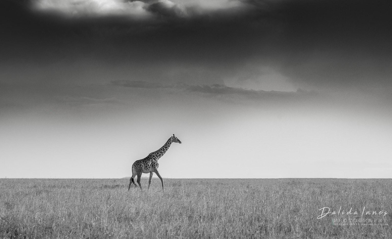A lonely giraffe in the Serenget byi Dalida Innes Wildlife Photography