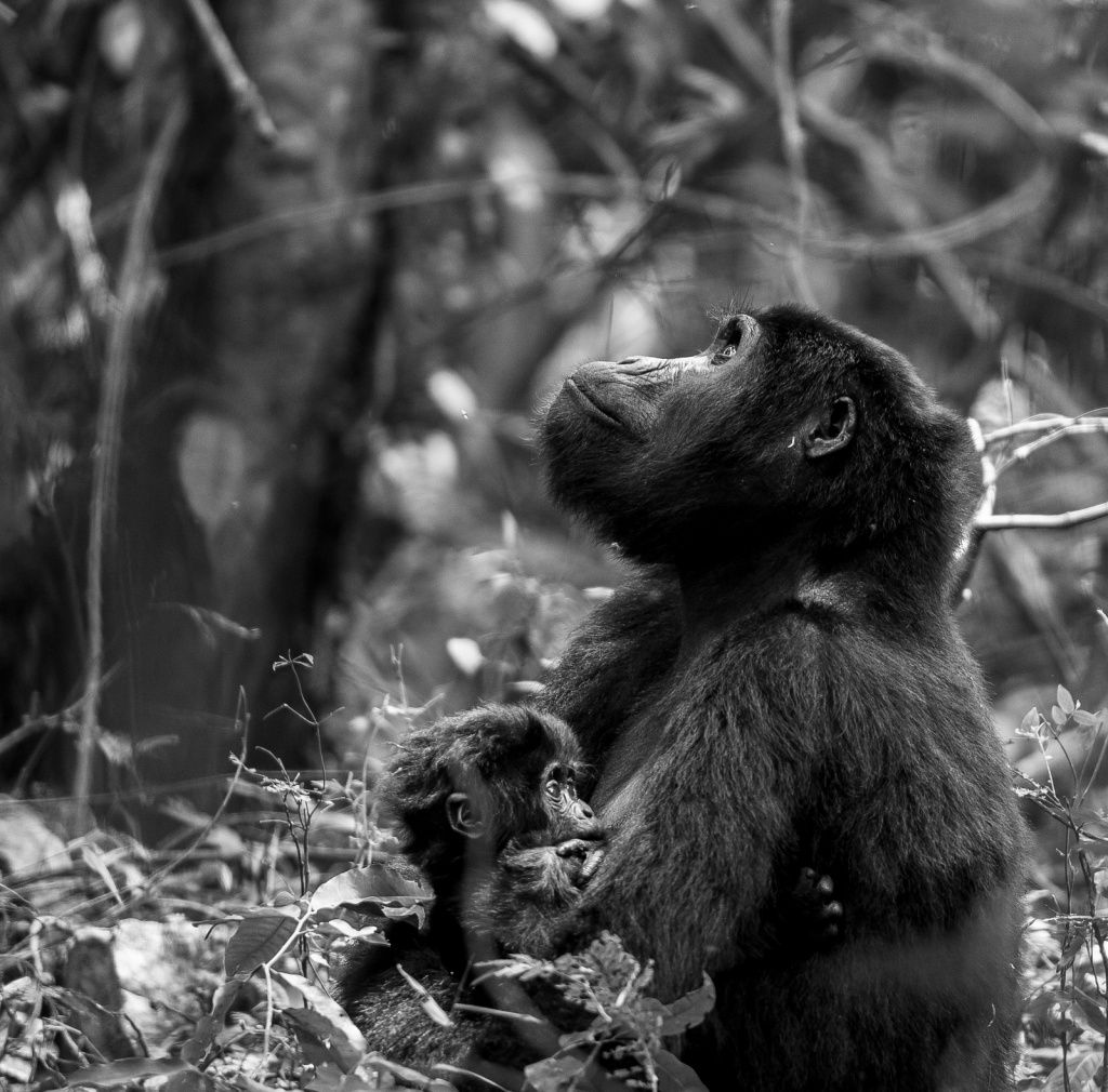 A moment of thought (Gorilla mother and daughter) by Dalida Innes