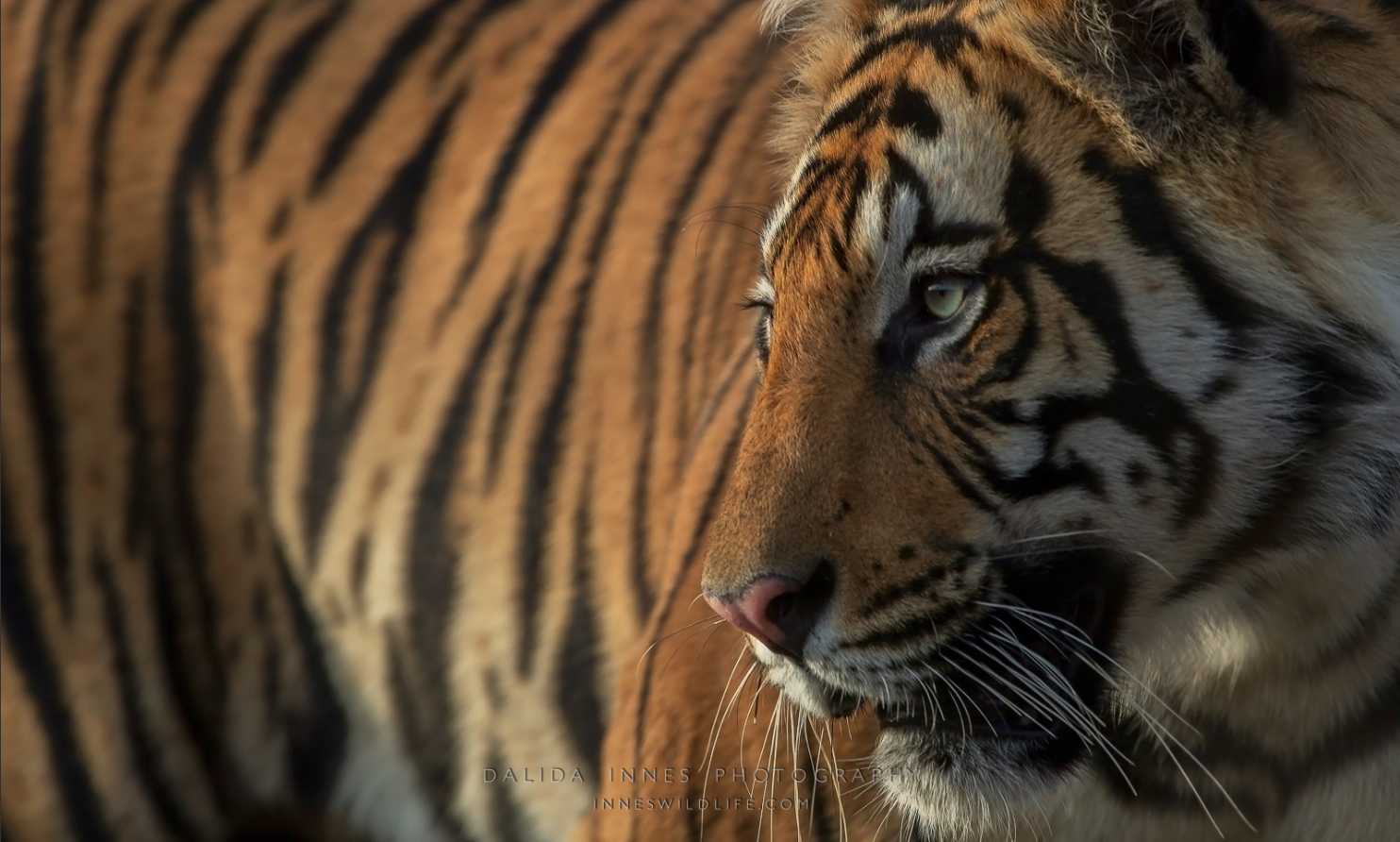 One of the three brothers from Bandhavgarh National Park, India.