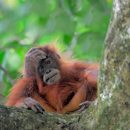 Craig Jones Wildlife Photography - Sumatran Orangutan baby
