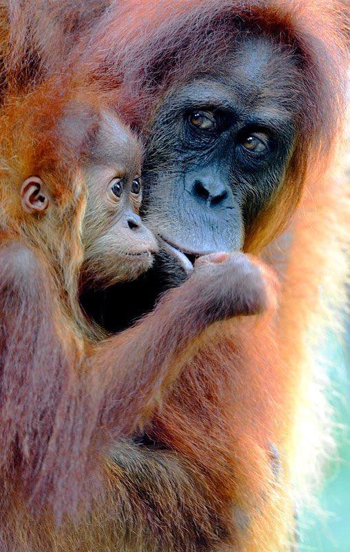 Craig Jones Wildlife Photography - Sumatran Orangutan mother and baby