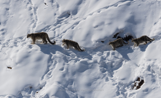 Dalida and her husband traveled to Kibber, Spiti Valley, Himachal Pradesh in India in February 2020. They managed to capture a female snow leopard and her cubs trekking through the snow. By Dalida Innes Wildlife Photography