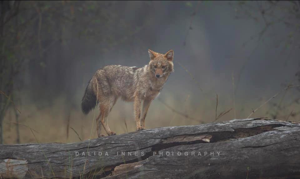 Golden Jackal , Bandhavgarh National Park, by Dalida Innes Wildlife Photography