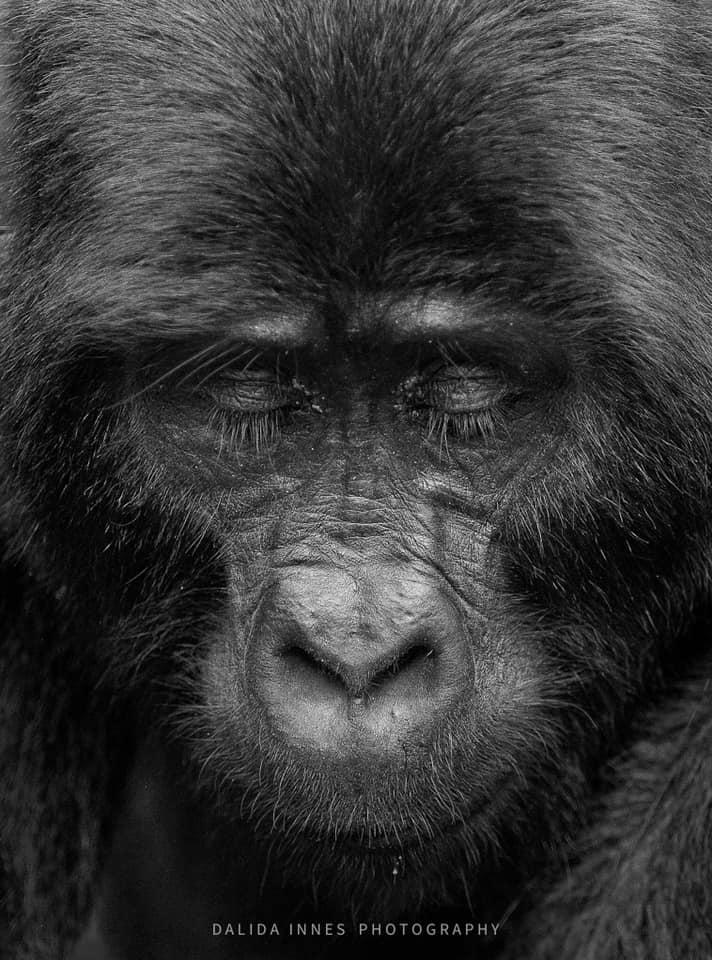 Gorilla by Dalida Innes Wildlife Photography
