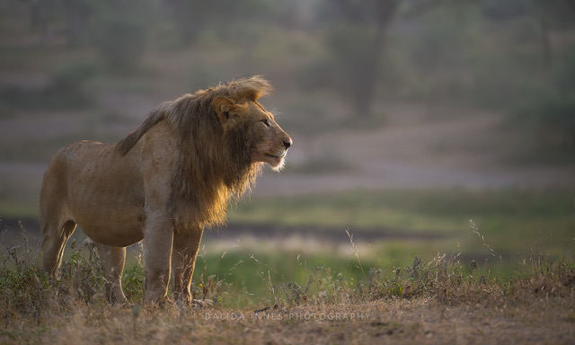 Morning Glory by Dalida Innes Wildlife Photography lion