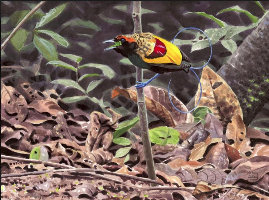 Magnificent Bird of Paradise by Szabolcs Kókay