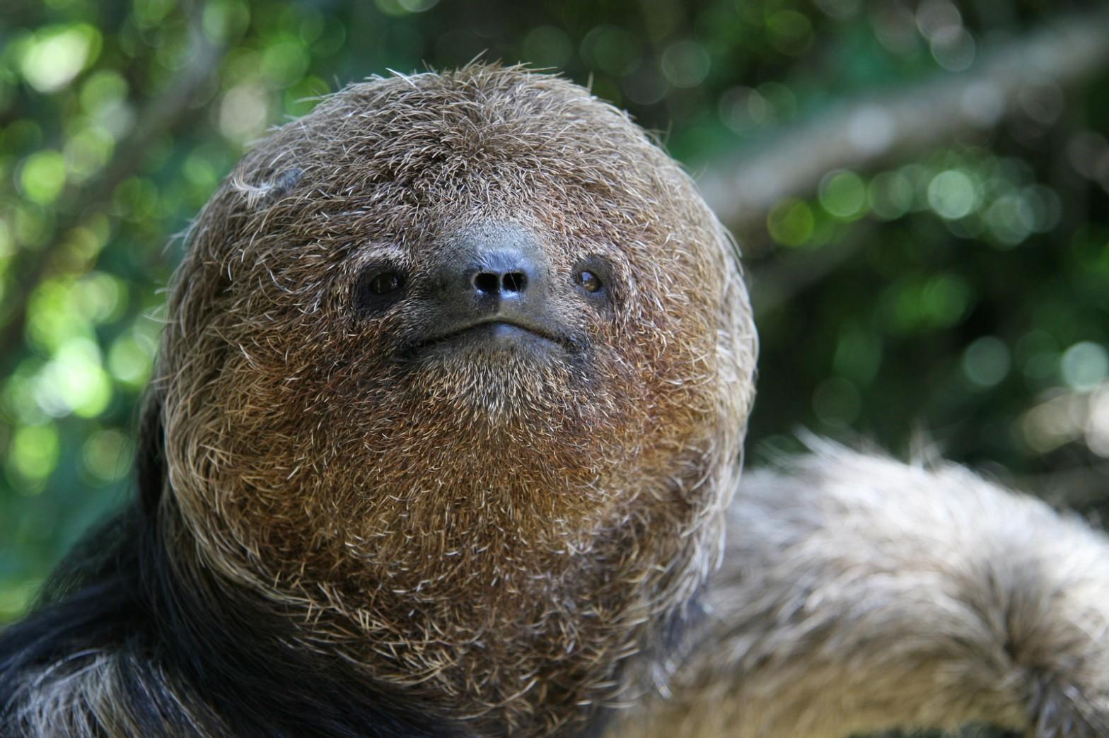 Maned Three-toed Sloth Bradypus torquatus