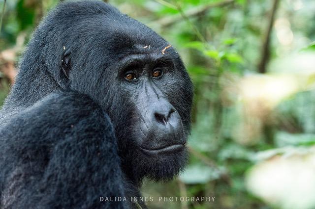 Mountain Gorilla by Dalida Innes Wildlife Photography