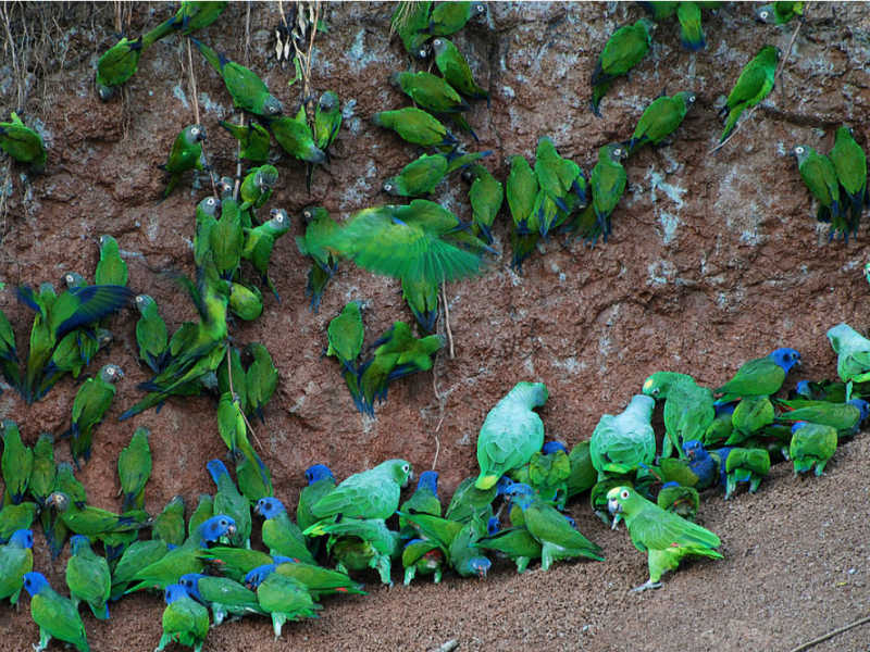 Rainbow Cliffs: Why Parrots in the Amazon Eat Clay