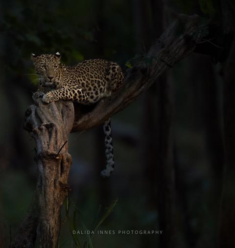 She by Dalida Innes Wildlife Photography Leopard