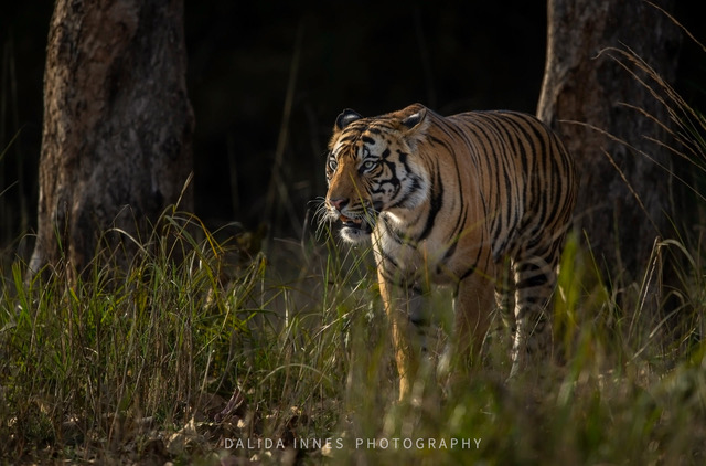Tiger by Dalida Innes Wildlife Photography
