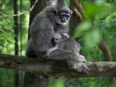 Abbott's Gray Gibbon Hylobates abbotti