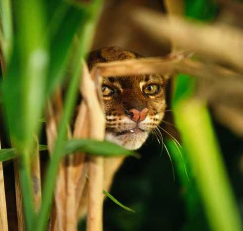 Borneo Bay Cat Catopuma badia