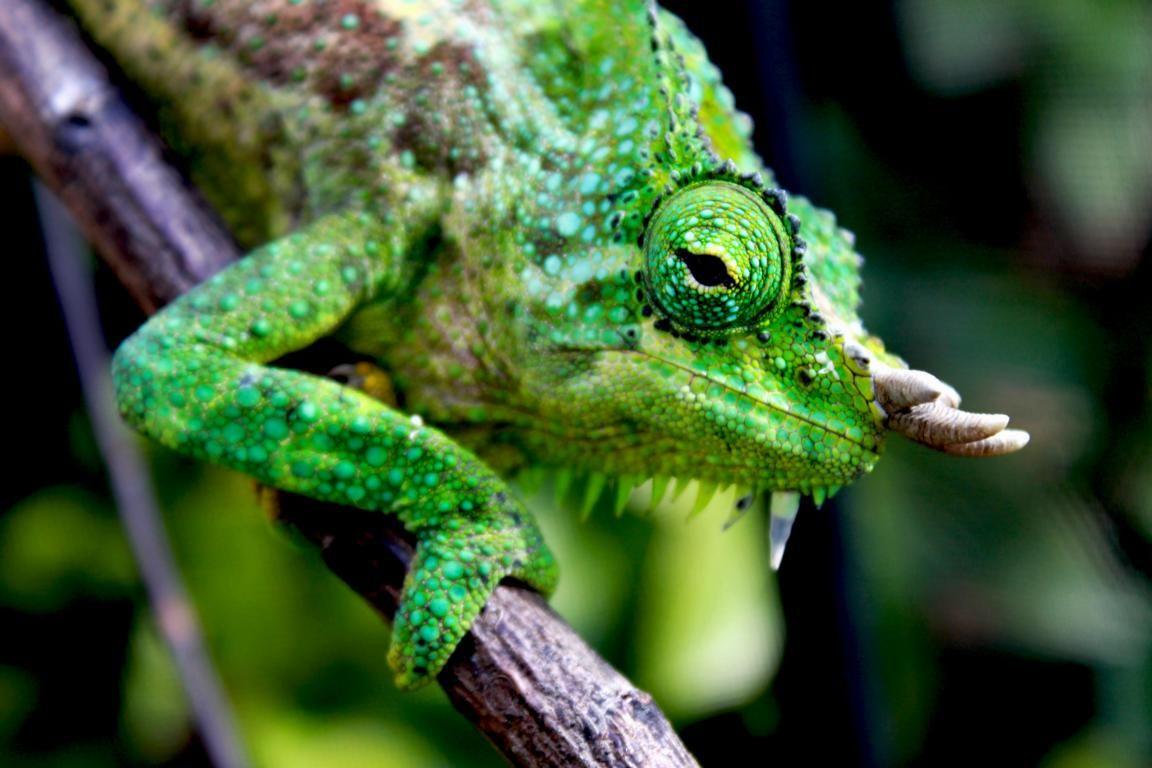Four-horned Chameleon Trioceros quadricornis2