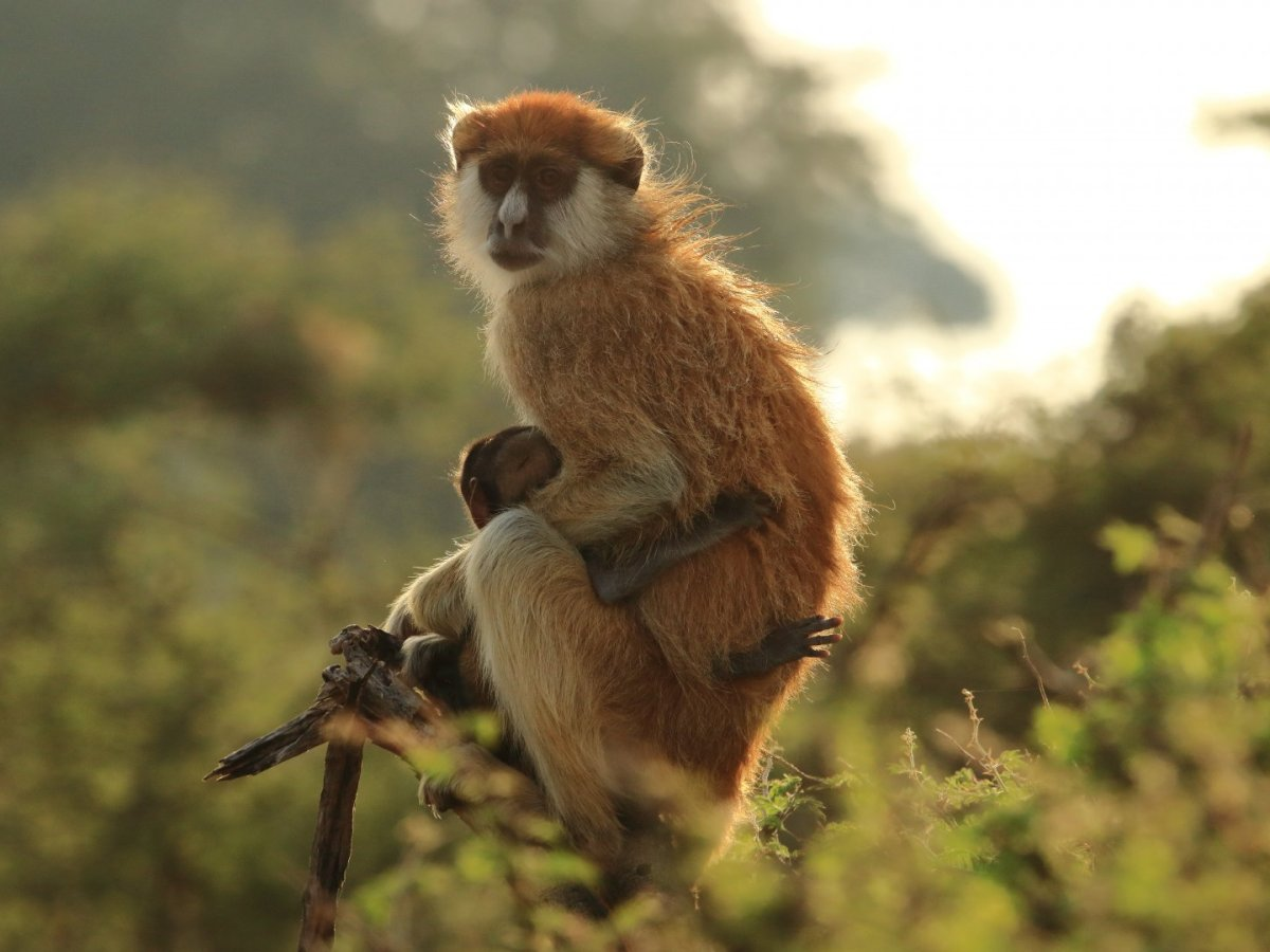 Southern Patas Monkey Erythrocebus baumstarki